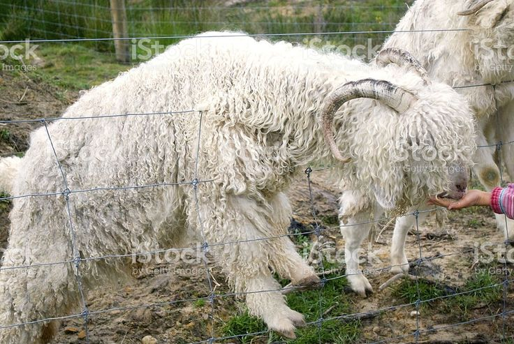 Angora Goat being Fed royalty-free stock photo