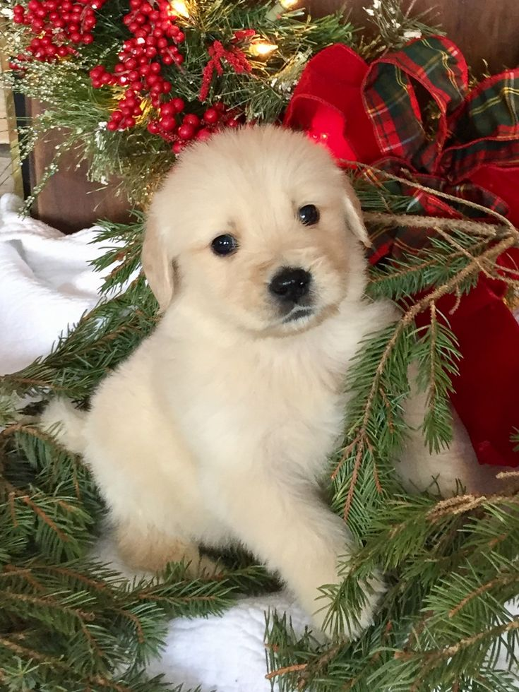 Golden Retriever Puppy For Sale ID: 178
