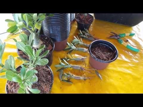 Transplante de Adenium Mudas Rosa do Deserto veja como trasnplantar