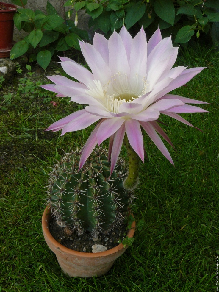 easter lily cacuts Scientific Name: Echinopsis multiplex Family: Cactaceae Toxicity: Non-Toxic to Dogs, Non-Toxic to Cats Echinopsis multiplex.