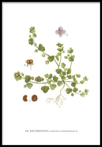 Liten affisch med svensk blomma, Nordens Flora.