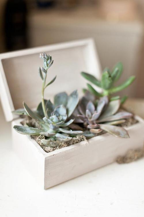 succulente cassettina