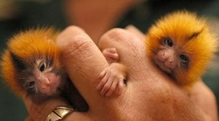 "They are native to rain-forests of Brazil , Peru , Bolivia ,     Ecuador and Colombia . (Source: Buzzle)                   Finger monkeys are, as a matter of fact, pygmy marmosets.     They are also known by the names ""pocket monkey""and ""tiny lion"".     This cute little primate hugs and grips on to your finger so tight     that it pulls your heartstrings and you wish you could take it home with you.     Finger Monkeys      The finger monkey is the tiniest living primate in the world…"