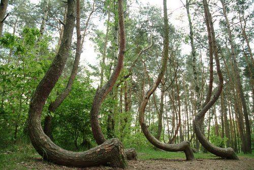 """Iskrivljena šuma""u Poljskoj (The ""crooked forest"" of Gryfino, Poland)"