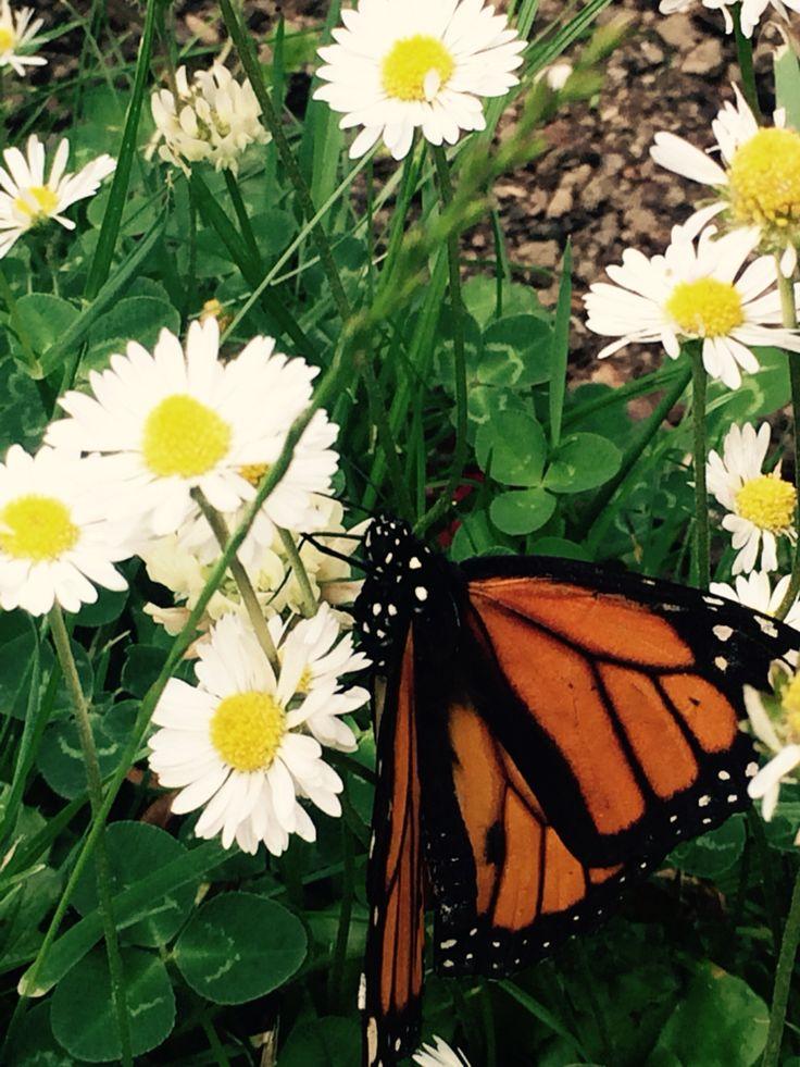 Butterflies & Daisies #butterflies #flowers #daisies #dublin #ireland