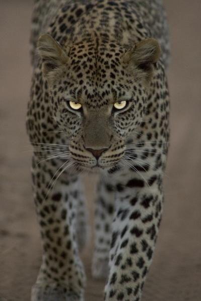 Leopard                                                                                                                                                      Plus