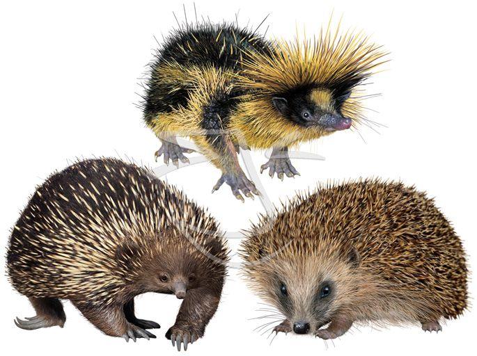 convergent evolution: echidna, tenrec & hedgehog