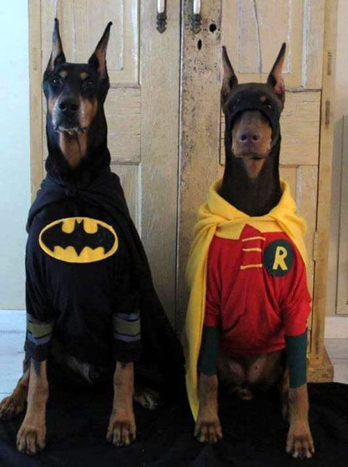 So cute!!! I need another hound so i can dress them up!!! Doberman Dogs Dressed In Batman And Robin Costumes