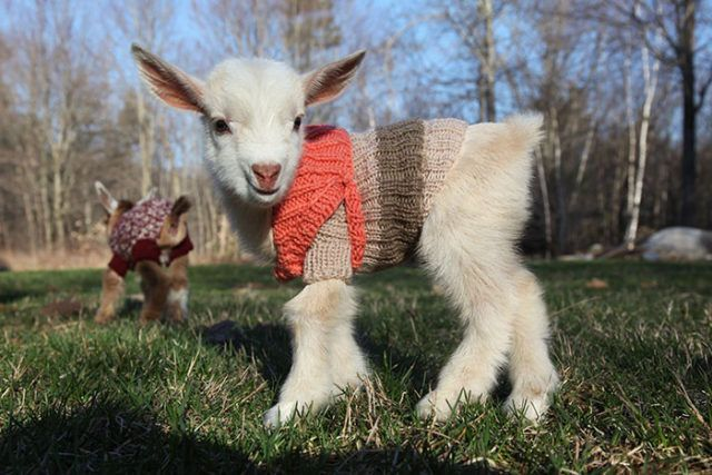 Newborn Goats in Sweaters This is the cutest thing I have seen in a while!