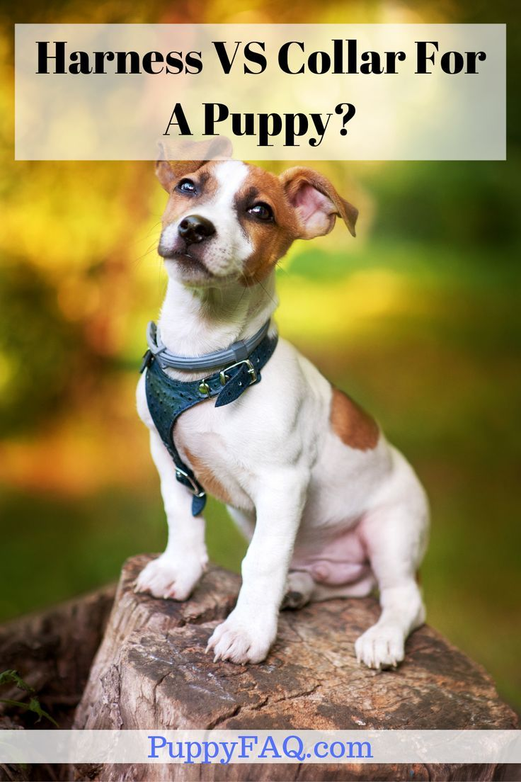 Is A Harness Or A Collar Better For A Puppy Puppies Puppies Funny