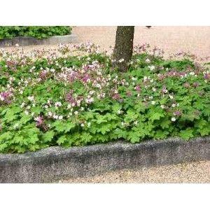 Geranium macrorrhizum Spessart Bodziszek korzeniasty