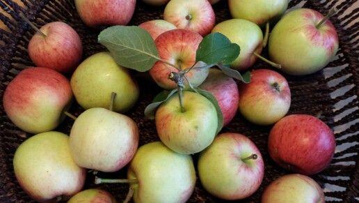 Oman puun omenat