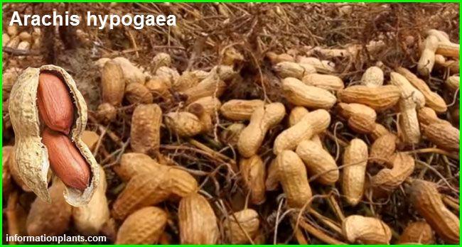 انواع اراكيس من بقوليات الفول السوداني Arachis قائمة الخضار النبات معلومان عامه معلوماتية Peanut Bha