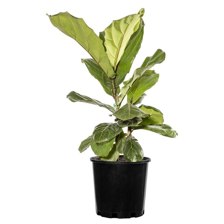 200mm fiddle leaf fig ficus lyrata ficus lyrata ficus