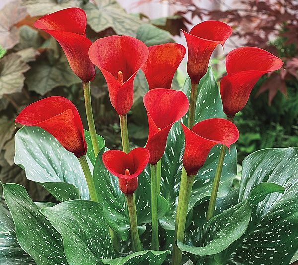 Barbara King 3 Piece Red Alert Calla Lily Qvc Com In 2020 Lily Flower Lily Plants Zantedeschia