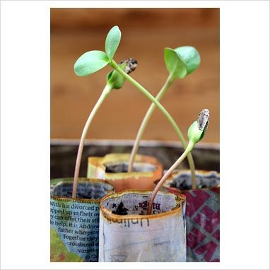 Sunflower seedlings growing in biodegradable newspaper pots