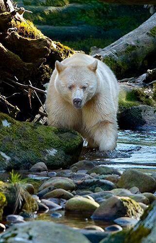 Kermode/Spirit Bear by Brad Hill