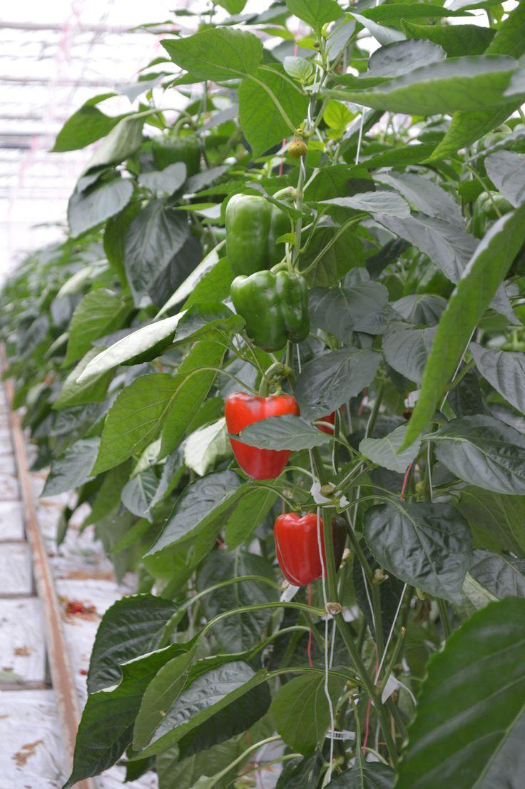 De paprika wordt gekweekt in verschillende kleuren. Rood, geel, oranje en groen zijn de bekendste. Maar er bestaan ook witte, paarse en bruine paprika's.