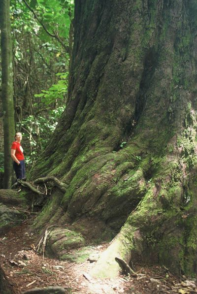 Otari has many magnificent trees such as this 800-year-old rimu on the Blue Trail. Photo by Jonathan Kennett.