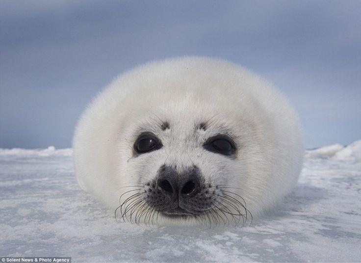 Cute Baby Harp Seal 273 best images about ...