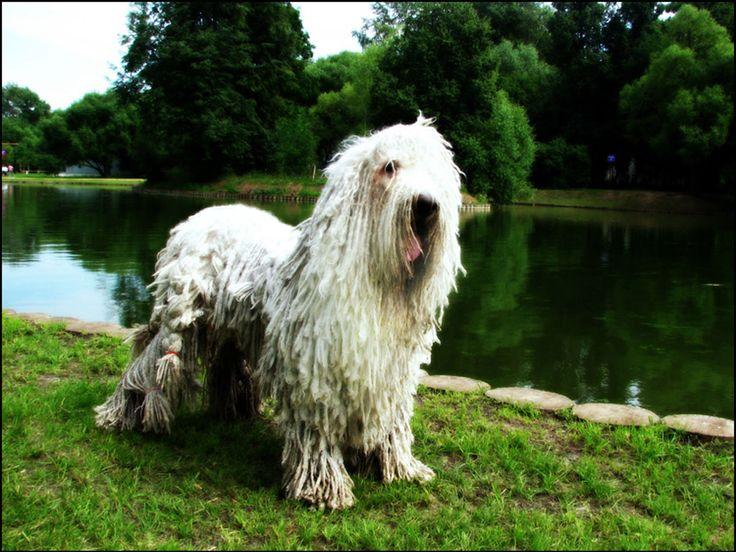 1000+ images about Komondor on Pinterest | Coats, Wolves ...