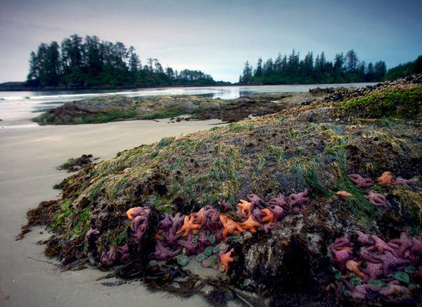 Pacific Rim National Park Reserve.  Photograph by Aaron Huey.  Purple and coral-hued sea stars cling to a rock in Schooner Cove on Vancouver Island, part of British Columbia's Pacific Rim National Park Reserve. Long Beach, the park's ten-mile stretch of uninhabited coastline, is one of Canada's most visited tourist attractions.