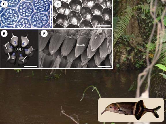 Los conos en la retina de los peces elefante forman un cristal fotónico que les permite ver colores a través de aguasturbias