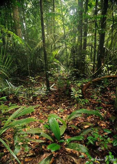 Rainforest in Iwokrama, Guyana [A great shot of what the forest floor looks like, typical habitat of popular terrestrial frogs like Dendrobates tinctorius, leaf litter toads, and horned frogs]