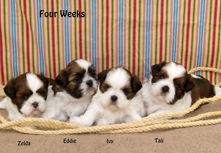Shih Tzu Puppies For Sale In Indiana Breeder Of Shih Tzu Puppies Shih Tzu Puppy Puppies Puppies For Sale