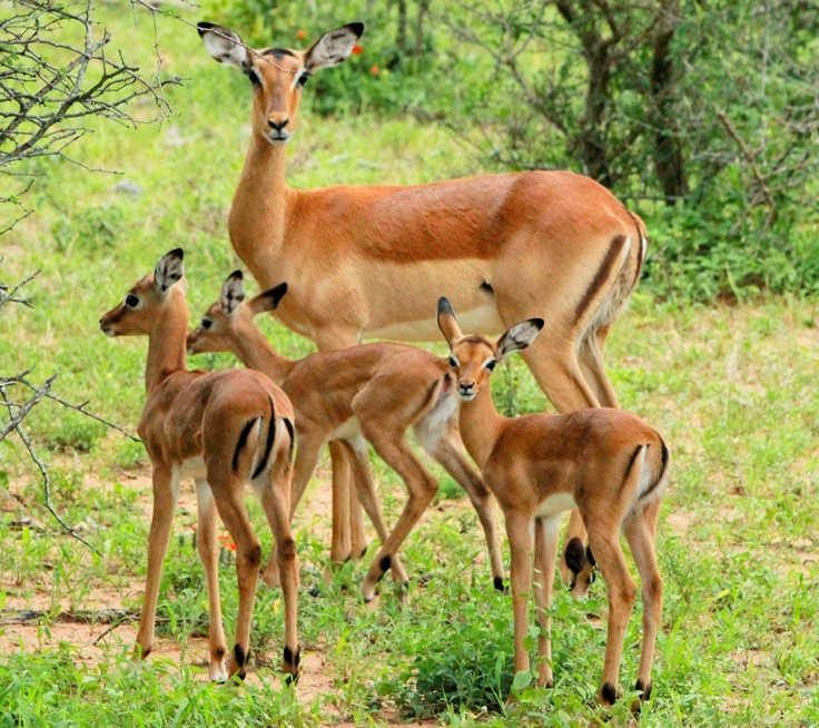 The birthing of the impala - what a beautiful way to start summer!
