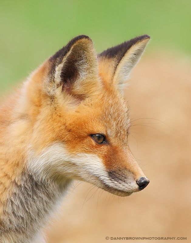 Nature's beauty exemplified in this juvenile red fox. - Photo by Danny Brown