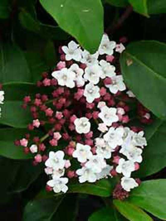 Winterblüher, immergrün, anspruchslos, gut in Form zu schneiden, Viburnum tinus / Mittelmeer-Schneeball