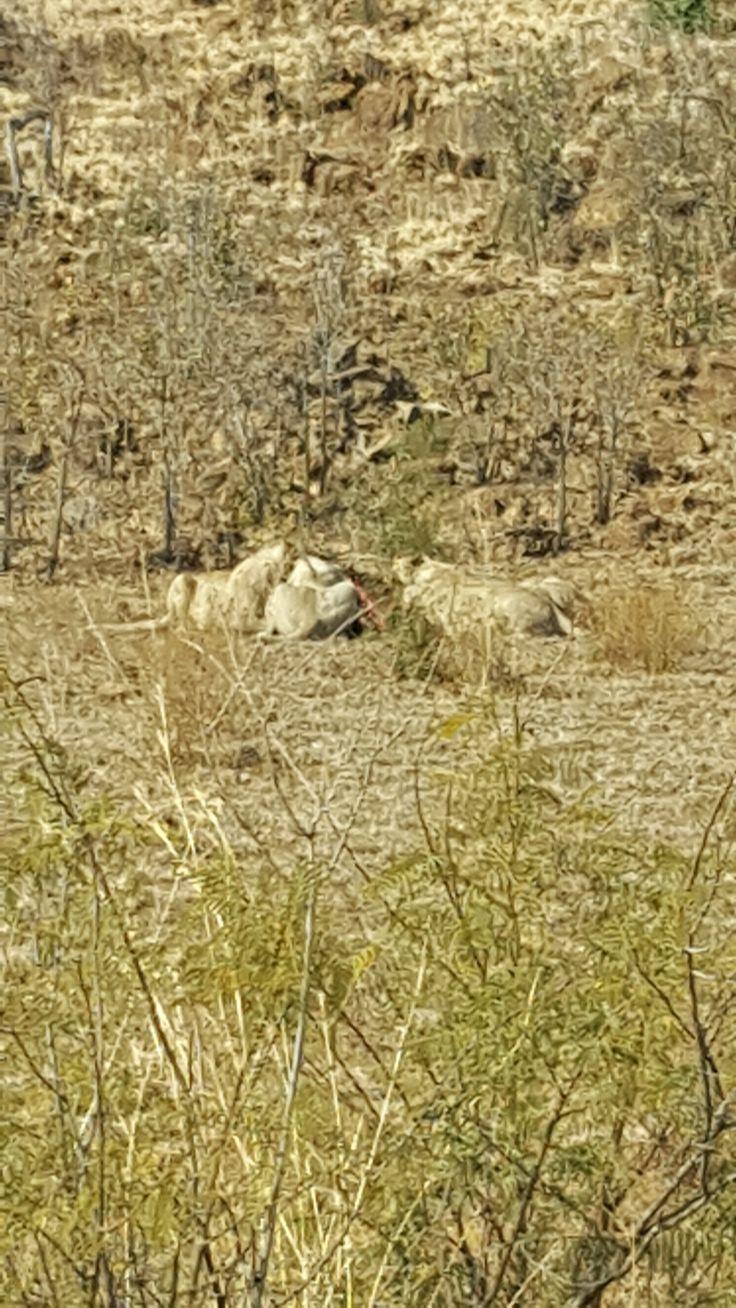*21/08/2016* Leeus wat n Blouwildebees vreet