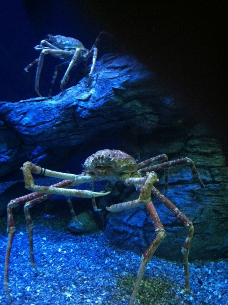 *King Crabs - They look like a scene from an alien movie...Wow, I had never seen them anywhere except my plate!  LOL