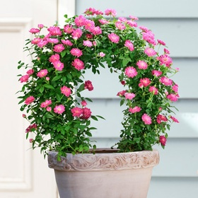 Arch of miniature rose ピンクのミニバラアーチ「ローズガーデン」