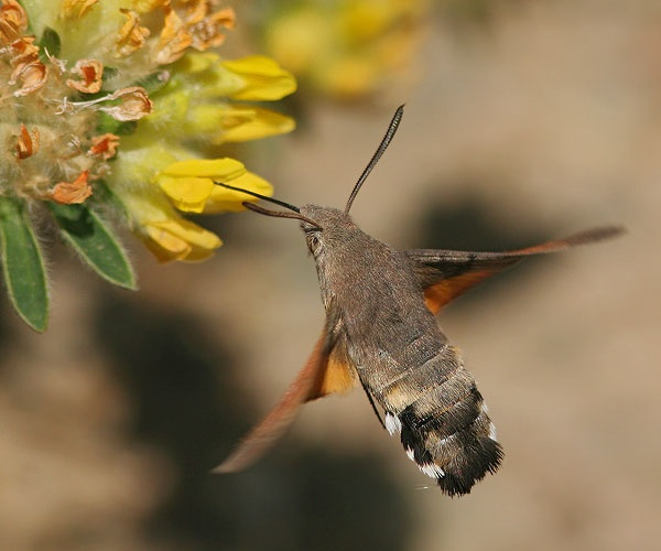 what is the insect that looks like a hummingbird