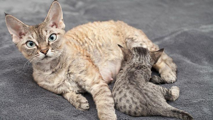 Raza de gato Devon Rex - Tamaño