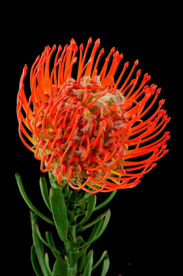 Pincushion Protea Pincushion Protea. Leu...