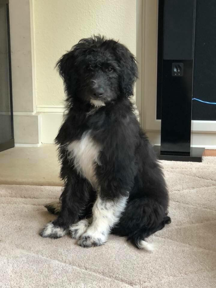 Poodle Plus Great Pyrenees From Www Crockettdoodles Com Puppies