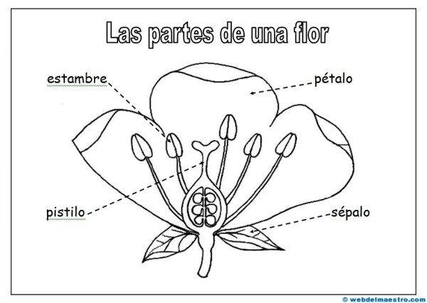 Partes De Una Flor Ciencias Pinterest Science For Kids