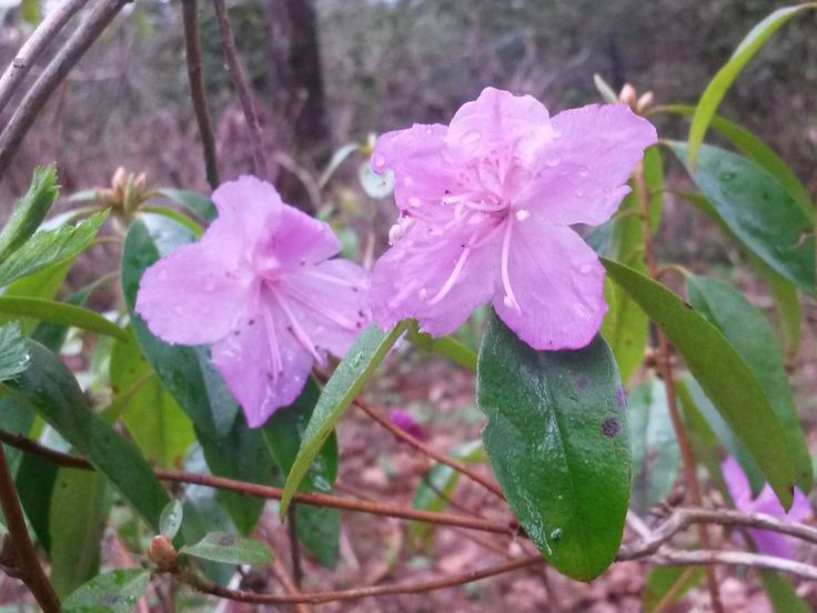 Rhododendron dauricum in Mustila Arboretum #mustila #arboretum #spring2014