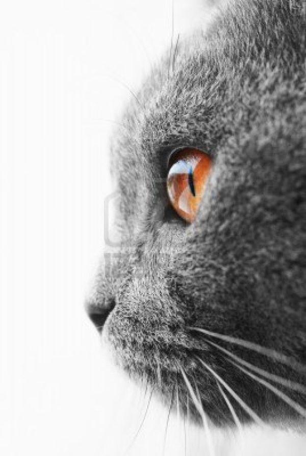 British Blue Cat by DaisyCombridge
