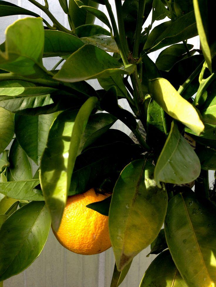 Valencia Orange - My first ever home grown orange!