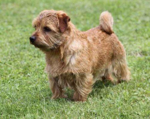 Norfolk Terrier: Belleville Red