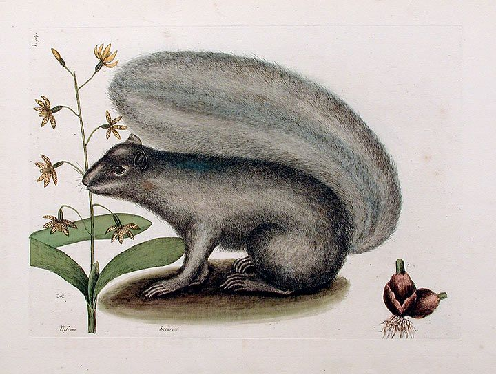 Grey Fox Squirrel (Eastern Gray Squirrel) with Bahaman Orchid | Mark Catesby, 1771.