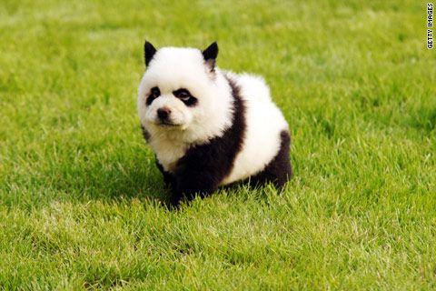 PUPPY or PANDA... ?   China's latest craze: dyeing pets to look like other wild animals.