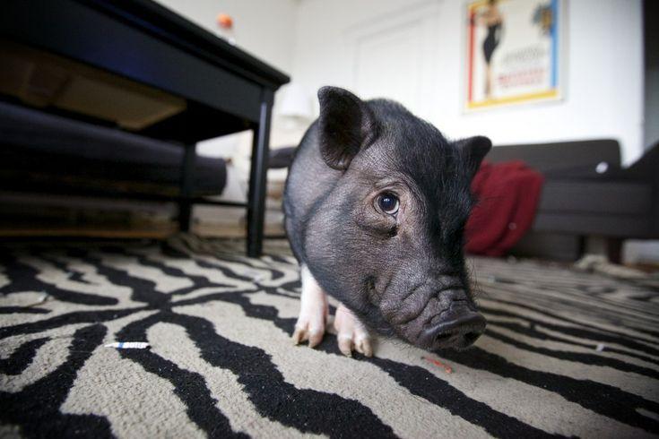 Warum es möglicherweise keine gute Idee ist, ein Minischwein zu halten   BIORAMA