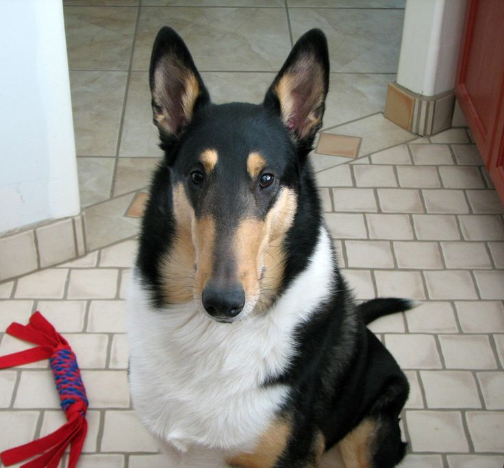 Dylan-TriColor Smooth Collie. Okay, finished playing. Where is my cookie?