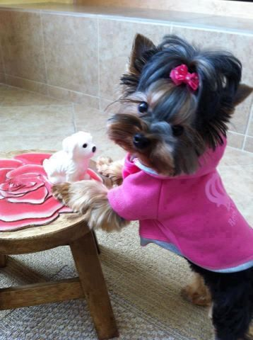 OMG! Such a cute little yorkie!!!! And She is playing with her tiny white dogy ...