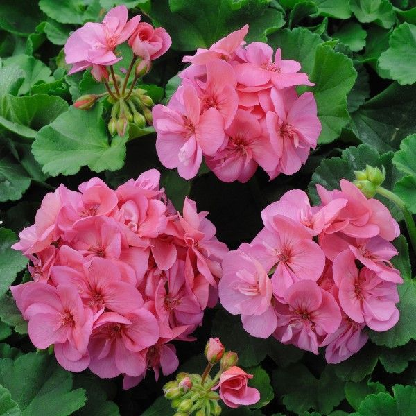 80 best images about geraniums on pinterest geranium flower scarlet and plants - How to care for ivy geranium ...